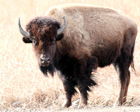 American Bison 1