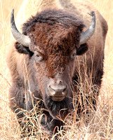 American Bison 2
