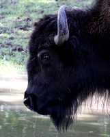 American Bison 3