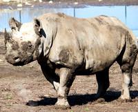 Black Rhinoceros 1