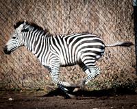 Grant's Zebra 2