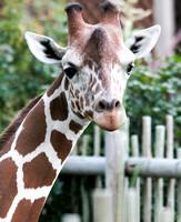 Reticulated Giraffe 4