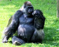 Western Lowland Gorilla 3