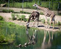Reticulated Giraffe 14
