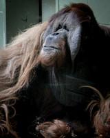 Sumatran Orangutan 7