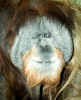 Sumatran Orangutan 8
