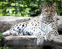 Amur Leopard 7