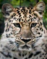 Amur Leopard 6