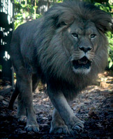 African Lion 16