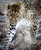 Amur Leopard 14