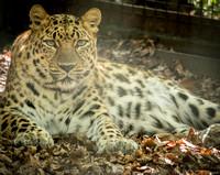 Amur Leopard 17