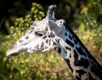 Masai Giraffe 6