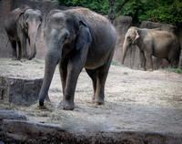 Asian Elephant 7