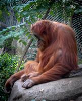 Sumatran Orangutan 9