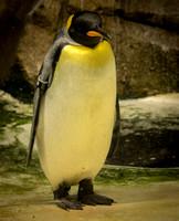 King Penguin 12