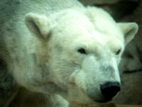 Polar Bear 24