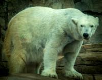 Polar Bear 25
