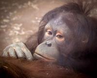 Bornean Orangutan 15