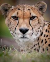 Cheetah 41
