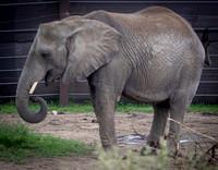 African Elephant 35