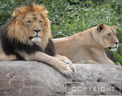 African Lion 3