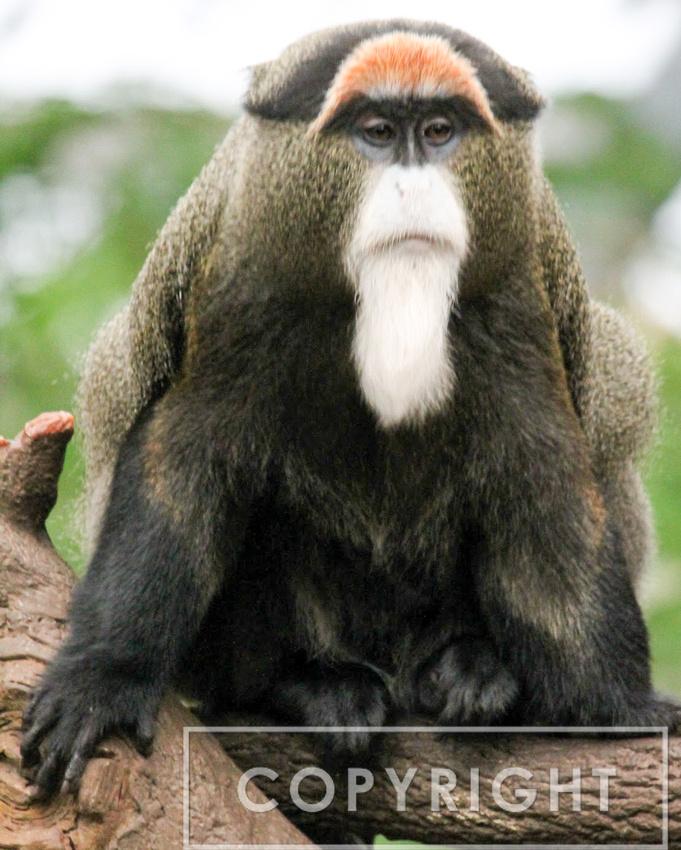 De Brassa's Monkey 1