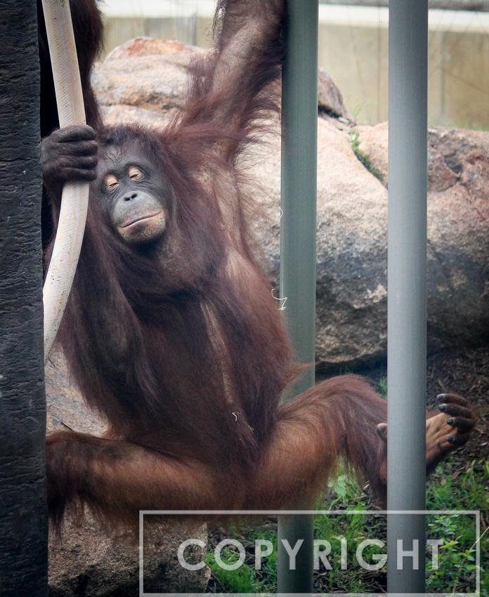 Bornean Orangutan 1