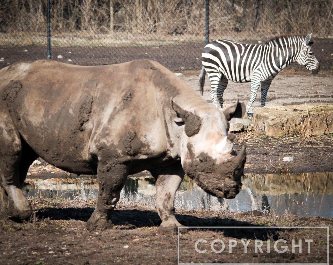 Black Rhinoceros 2