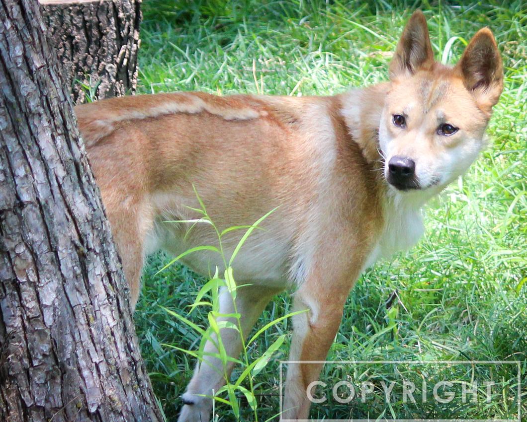 Dingo 4