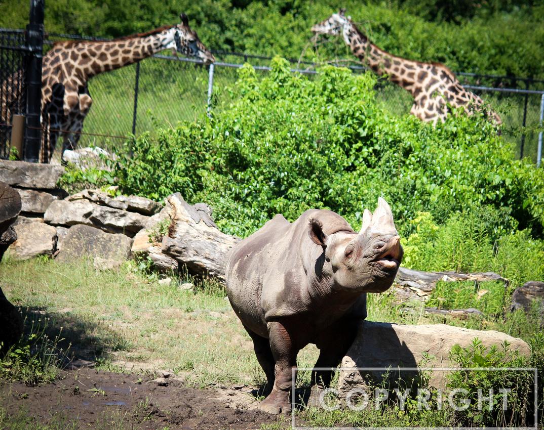 Black Rhinoceros 6