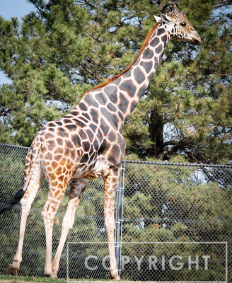 Reticulated Giraffe 6