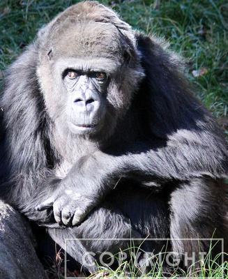 Western Lowland Gorilla 14