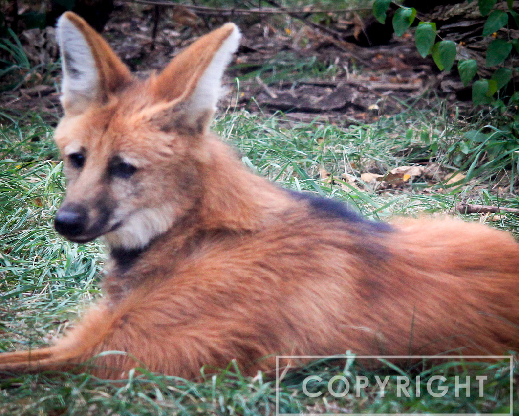 Maned Wolf 4