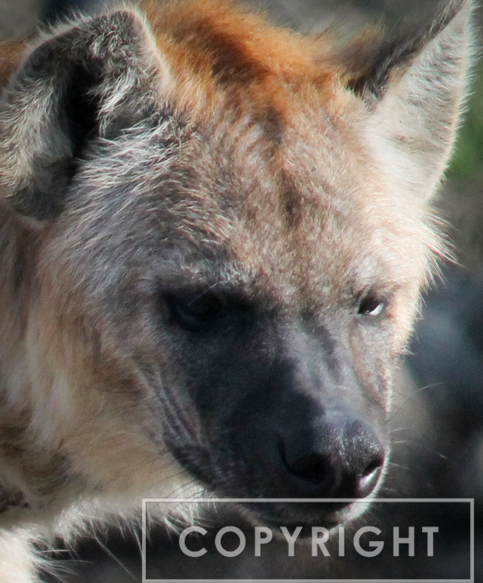 Spotted Hyena 6