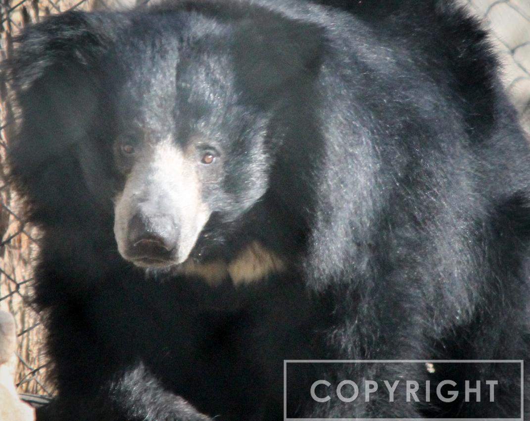 Sloth Bear 2