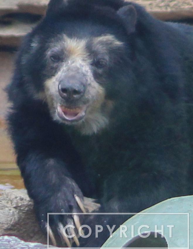 Andean Bear 7