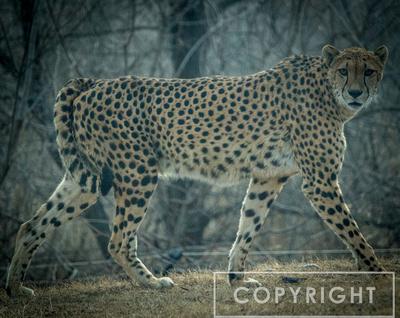 Cheetah 36