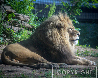 African Lion 31
