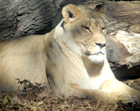 African Lion 15