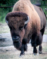 American Bison 8