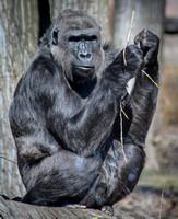 Western Lowland Gorilla 15