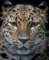 Amur Leopard 19
