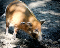 Red River Hog 1
