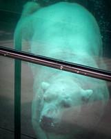 Polar Bear 17