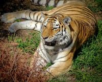 Amur Tiger 2