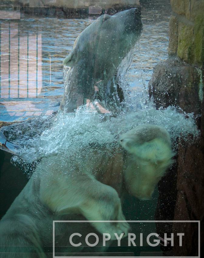 Polar Bear 18