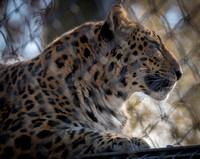 Amur Leopard 21