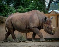 Black Rhinoceros 17