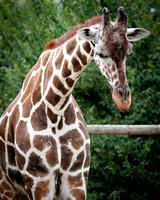 Reticulated Giraffe 24