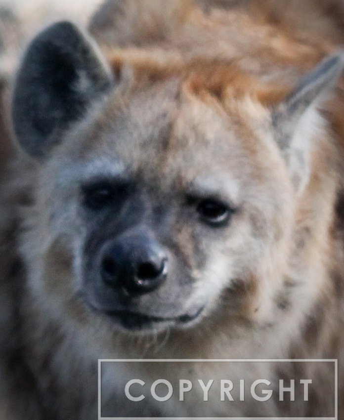 Spotted Hyena 3